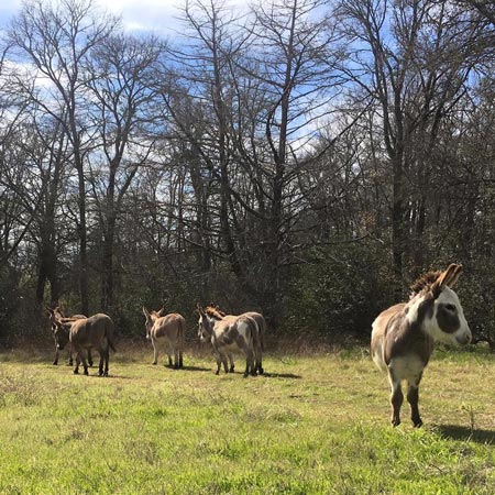 mini-donkeys